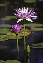 Lotus flower in pond, In the Zone Wellbeing Energy Healing package