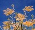 Parsley, body balance, New Millennium flower essence