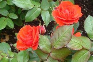 Warrior Rose flower essence from New Millennium range