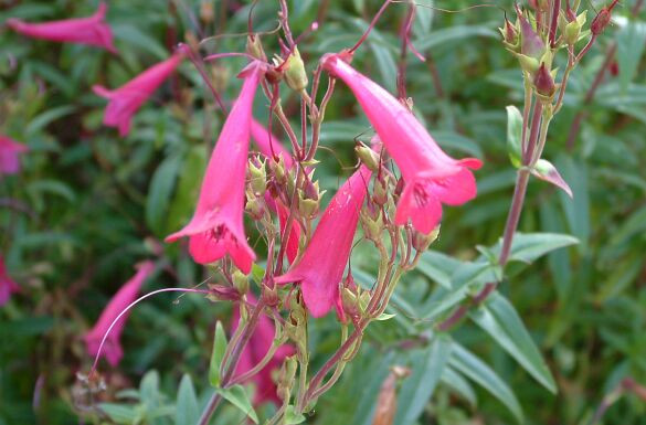 Penstemon flower essence for stuck thinking