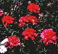 Pink verbena essence, nurturing