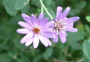 Olearia flower essence for Overwhelm