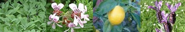 Spanish Sage, Geranium, Lemon, Lavender essential oils in Aura Restorer