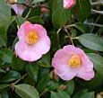 Bell Bird camellia, artificial environment, New Millennium flower essence