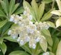 Pieris Yakushimensis, unbalanced earth energies, New Millennium flower essence