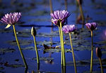 Lotus flowers in pond, Wellbeing energy healing sessions