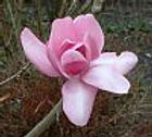 Magnolia Charles Raffill flower essence, In the Zone Healing, New Millennium Essences, vibrational healing essences, healing with flower essences, essences for emotional healing