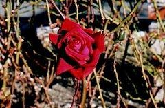Loving Memory Rose for dissolving energetic blocks