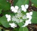 White lacecap hydrangea, sonic toxic pollution, New Millennium flower essence