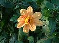 Dahlia Wylde Green essence, happiness