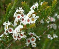 Thytomene calycina essence, body symptoms relief