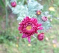 Red perennial daisy, old connections terminate, New Millennium flower essence