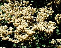 Helichrysum essence, acute body symptoms