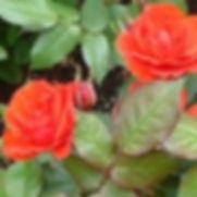 rose_warrior_aura_cleanse_debug.JPG