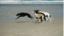"""La vitesse """"de pointe"""" du chien (et d'autres animaux)"""