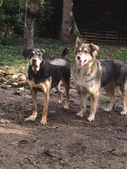 rott x beauceron et malamute x chien lou