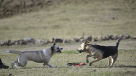 """La """"dominance"""" chez le chien, un mythe à la dent dure"""
