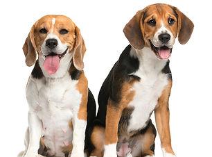 beagles-500.jpg