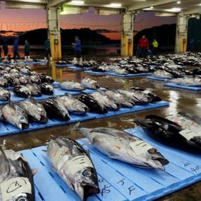 Katsuura Tuna Fish Market, 勝浦まぐろ市場 (Wakayama Pref.)