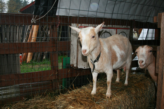 Did Freya the Goat Discover Perpetual Motion?