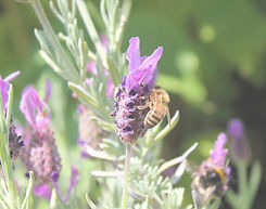 Bee On Lavendertrans.jpg