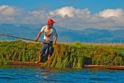 Harvesting Water Plants, Inle Lake, Myanmar 2008