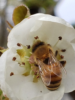 Bee on pear angle