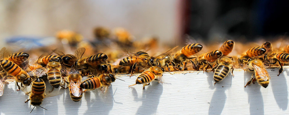 Honey Bees on Hive Frame