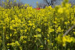 Flower fields by Urfa