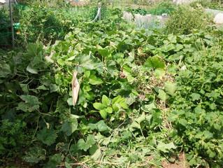 畑にある菜園の草刈りと片付けしてきました。(船橋市田喜野井)