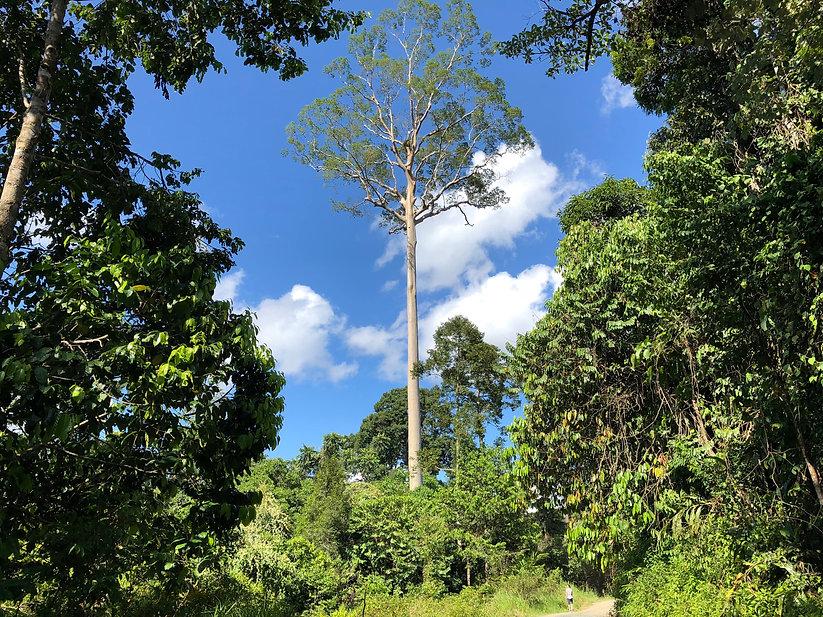 Hoogste bomen.jpg