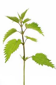 Nettle, Spring's Leaves of Life