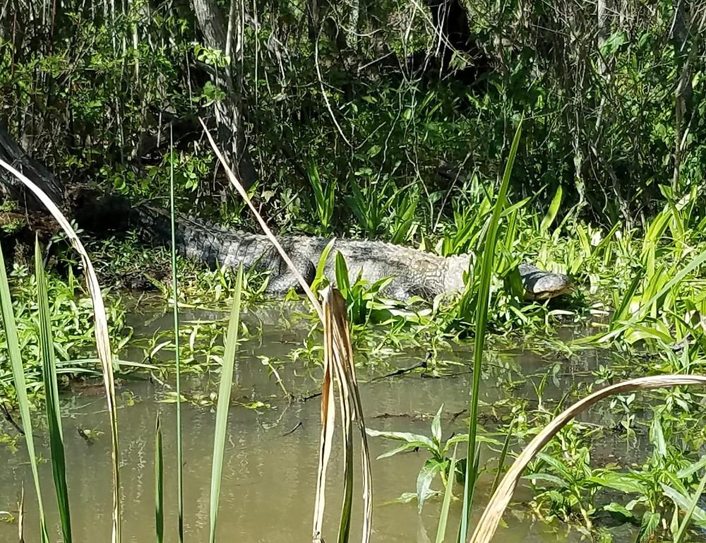 Alligator!