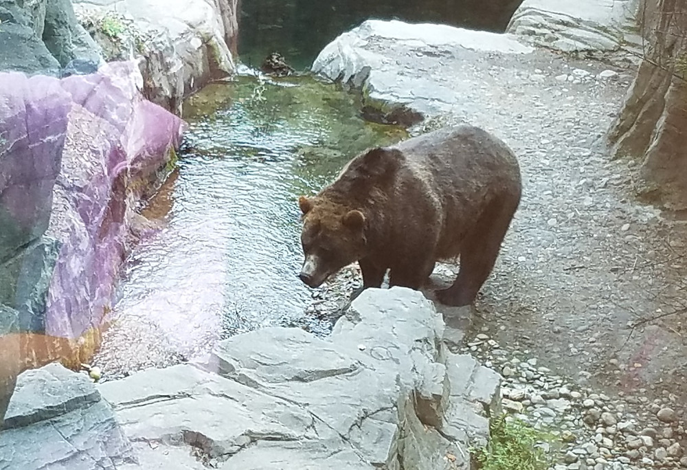 A poor bear at the Central Park Zoo