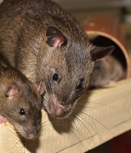 rodent control pest nett.jpg