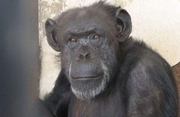 Cecilia the Chimpanzee