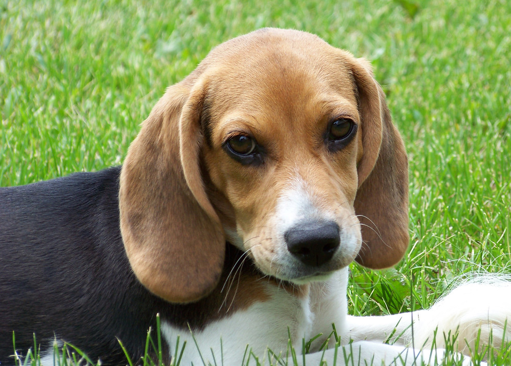 Beagle sits in grass