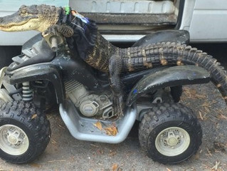 Florida Woman Battles FWC Over Trained Pet Gator