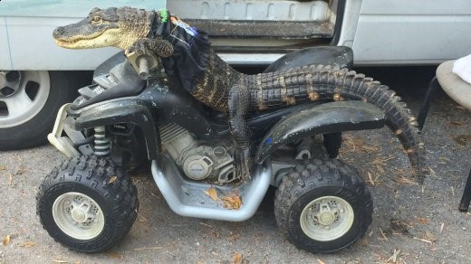 Rambo the trained gator, atop a quad-bike