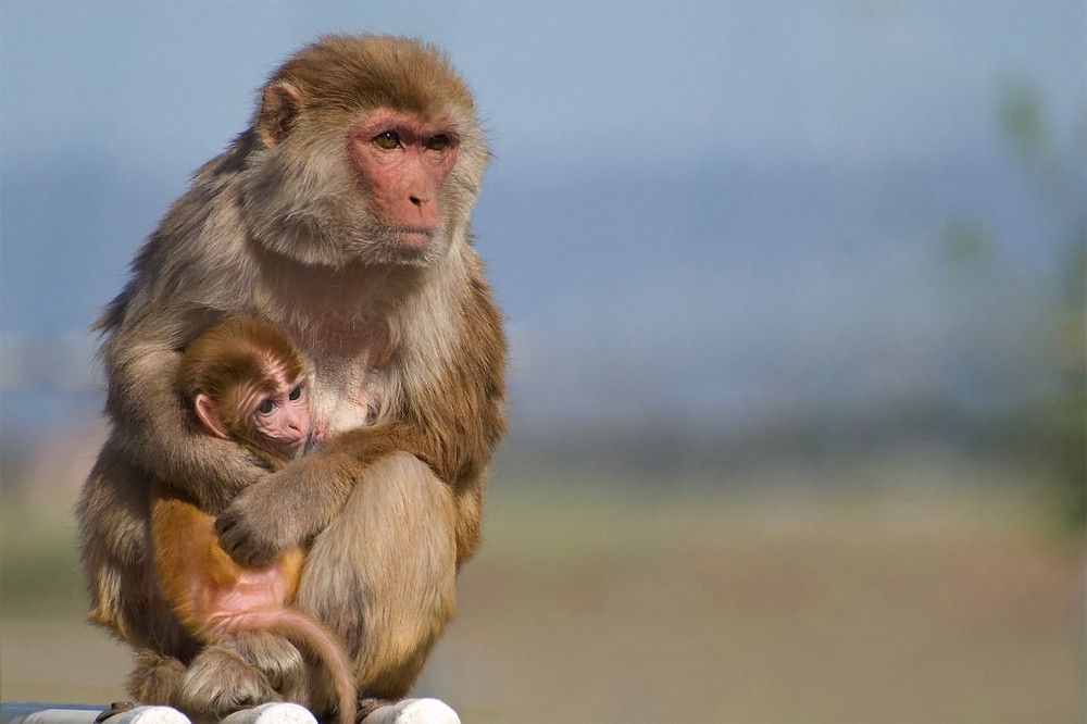 A Rhesus macaque holding a juvenile macaque.  Credit: Kathy West, California Nation Primate Research Center