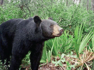 Florida Bear Hunt Closes in Part in Less Than One Day