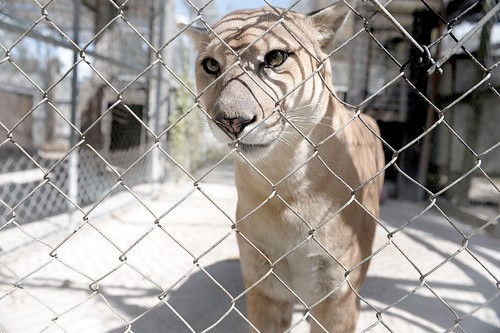 Lion in a small cage.
