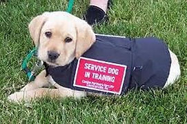 Service puppy in training vest