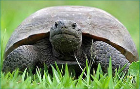 Gopher Tortoise. Photo from Wikipedia Creative Commons. Author: Craig ONeal http://www.flickr.com/photos/36703550@N00/2601702635