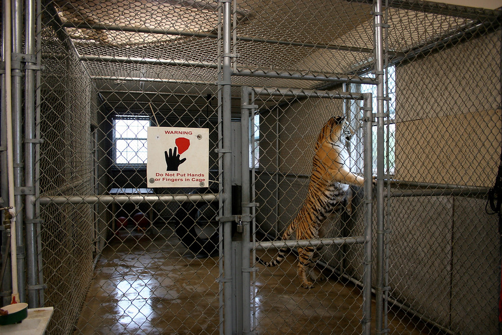 Tiger in a small indoor cage.