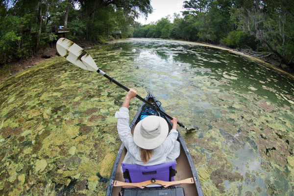 A canoe travels down an algae-ridden river in Florida. Credit: John Moran, via Wikimedia Commons.