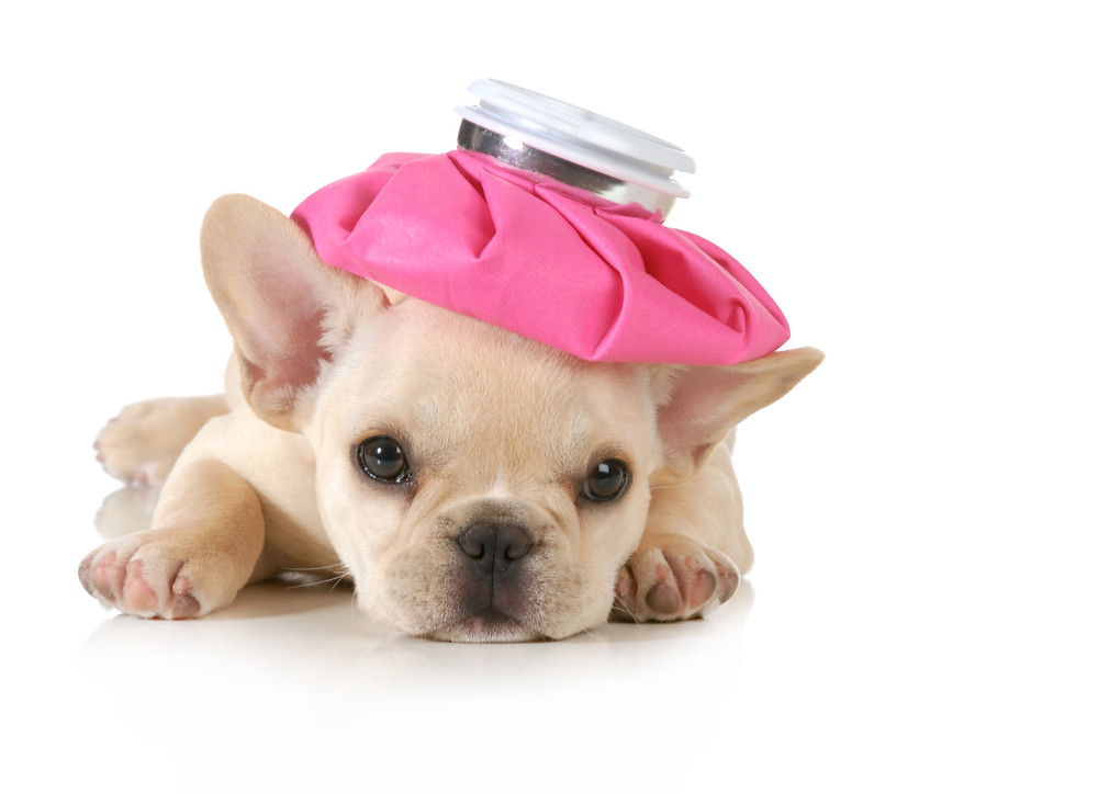 Sick puppy with icepack on head.