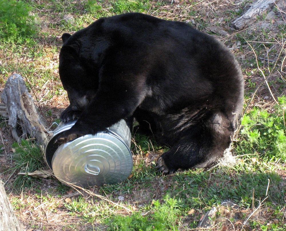 Bear examining garbage can.  Courtesy of MyFWC.com.