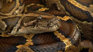 From an Unconventional Pet to an Invasive Species: Burmese Pythons Move to Florida