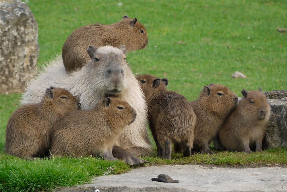 Capybara family by Tanya Durrant